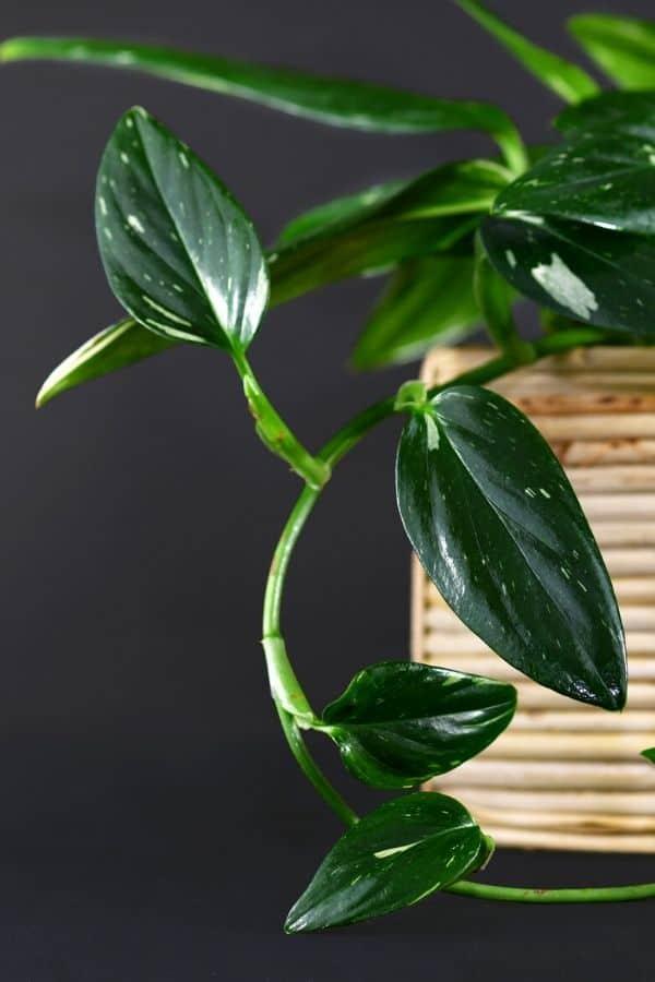 The stunning emerald leaves of Monstera standleyana.