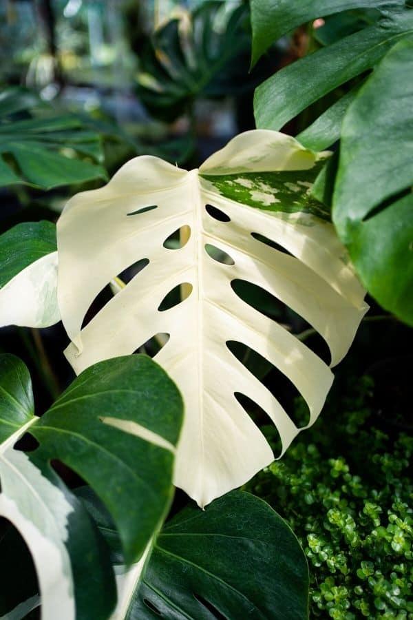 The gorgeous white Monstera deliciosa 'Albo Variegata'.