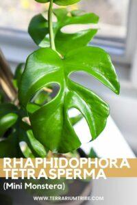 Rhaphidophora tetrasperma (Mini Monstera)