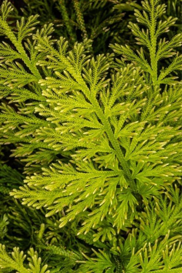 Feathered foliage of Selaginella emmeliana.