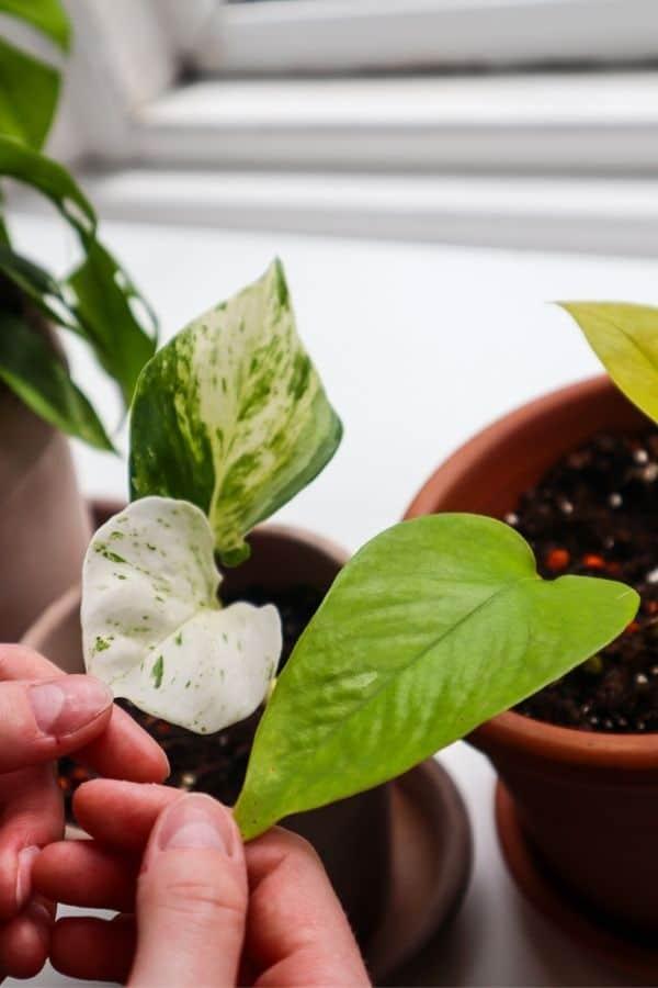 The ruffled leaf texture of the Manjula Pothos vs the Neon Pothos.