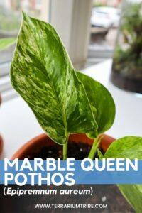 Marble Queen Pothos