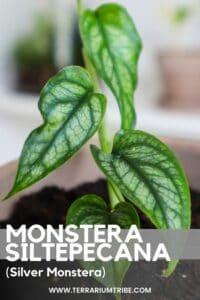 Monstera siltepecana (Silver Monstera)