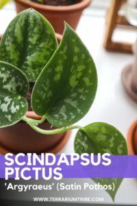 Scindapsus pictus (Satin Pothos)