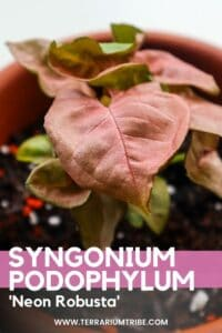 Pink Syngonium Neon Robusta