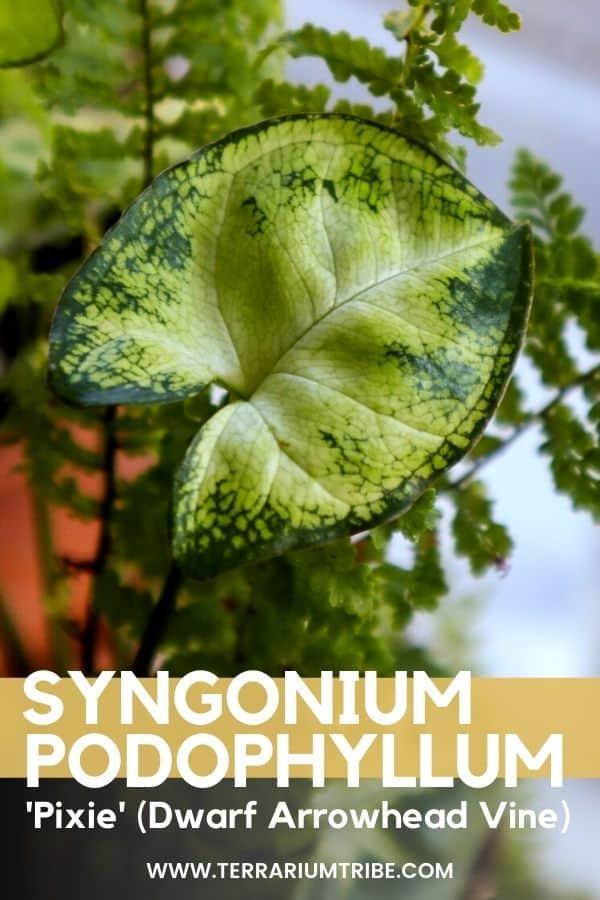 Syngonium podophyllum 'Pixie'