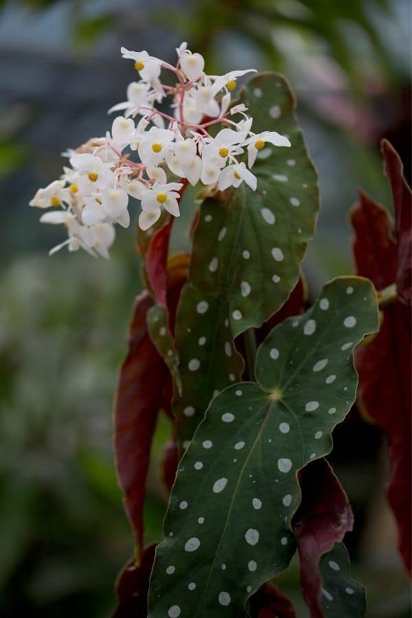 Begonia maculata flower