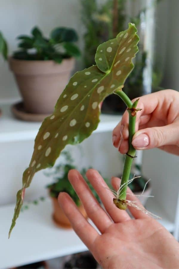 Begonia maculata propagation