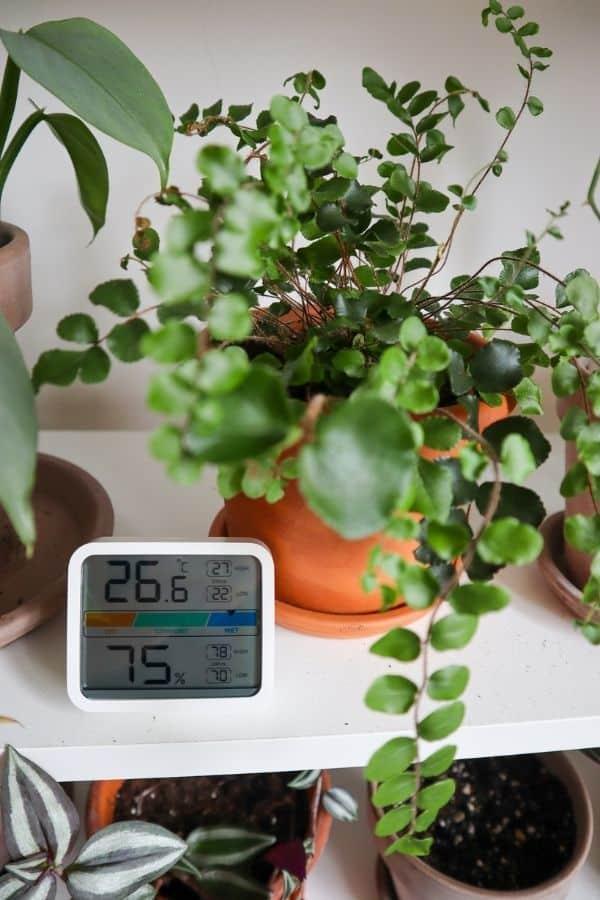 Pellaea rotundifolia, Button Fern