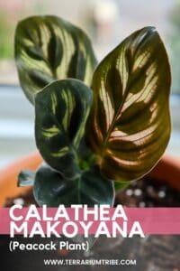 Calathea makoyana (Peacock Plant)