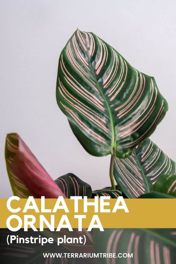 Calathea ornata (Pinstripe Plant)