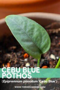 Cebu Blue Pothos