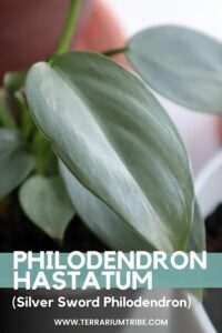 Philodendron hastatum (Silver Sword Philodendron)