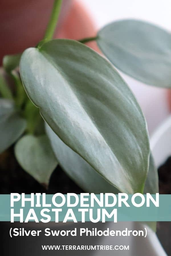 Philodendron Silver Sword (Philodendron hastatum)