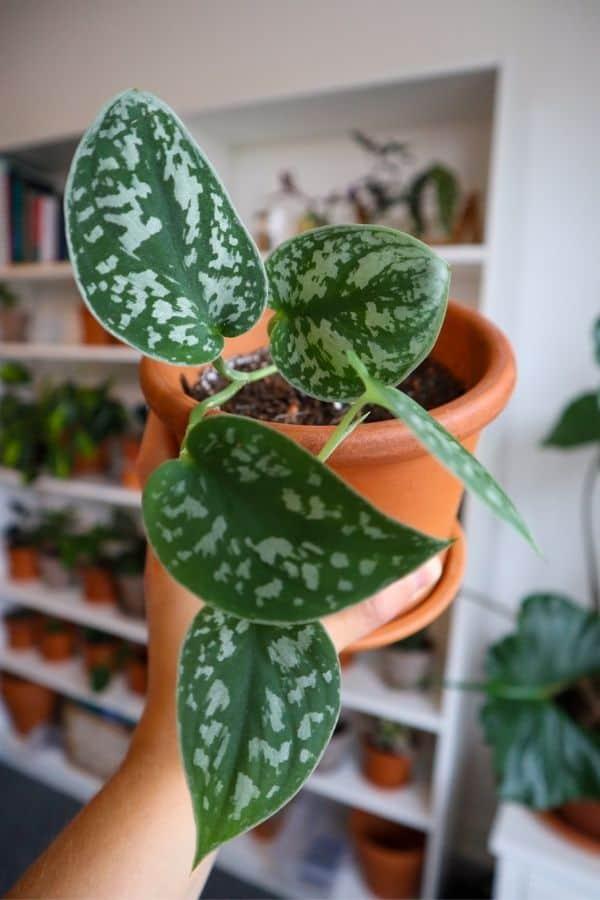 Scindapsus pictus (Silver Satin Pothos)