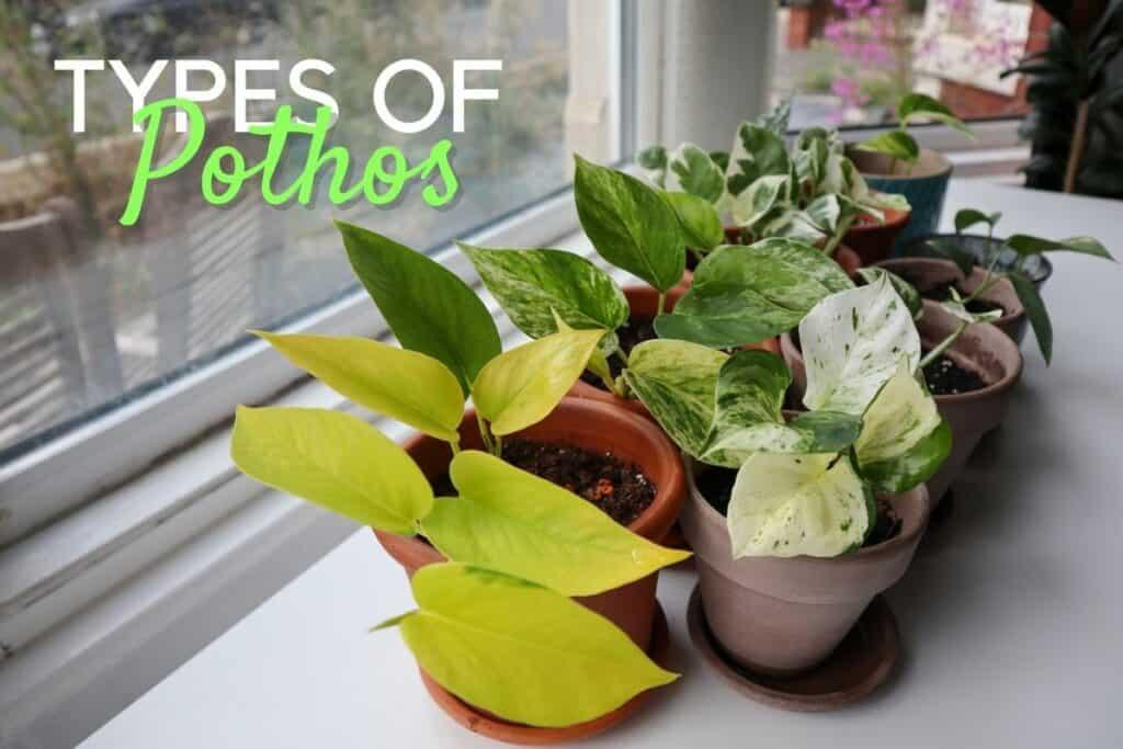 Types of Pothos