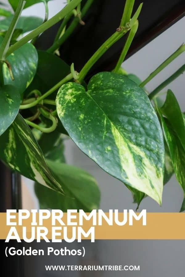 Epipremnum aureum (Golden Pothos)