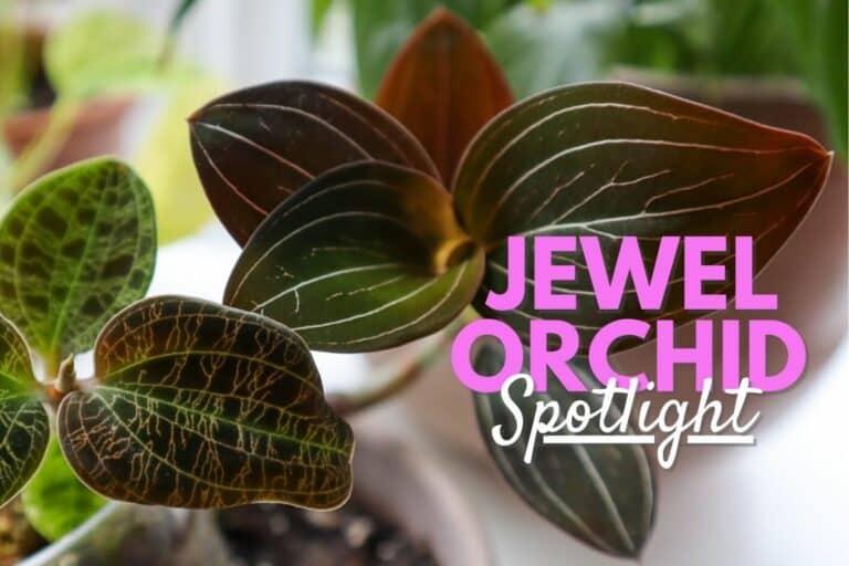 Jewel orchid