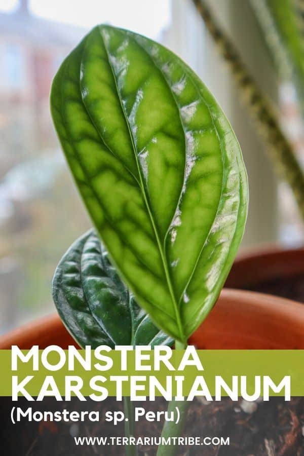 Monstera peru