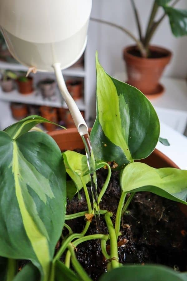 Philodendron Brasil watering