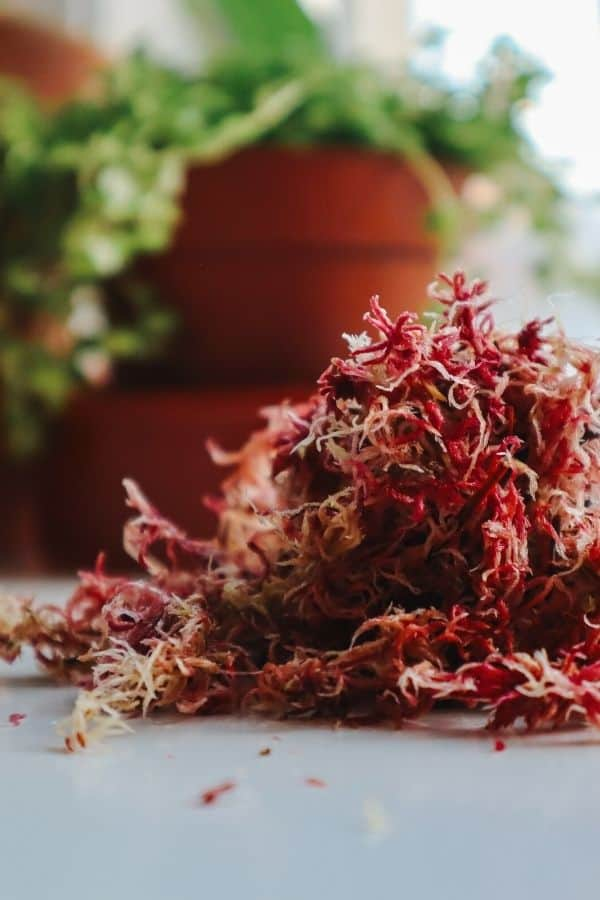 live pink sphagnum moss