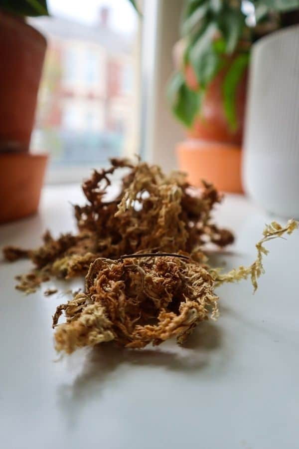 Long-fiver dried sphagnum moss
