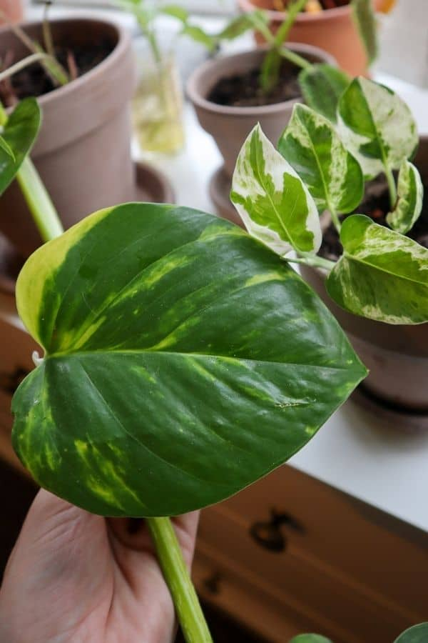 Pearls and Jade Pothos and Golden Pothos