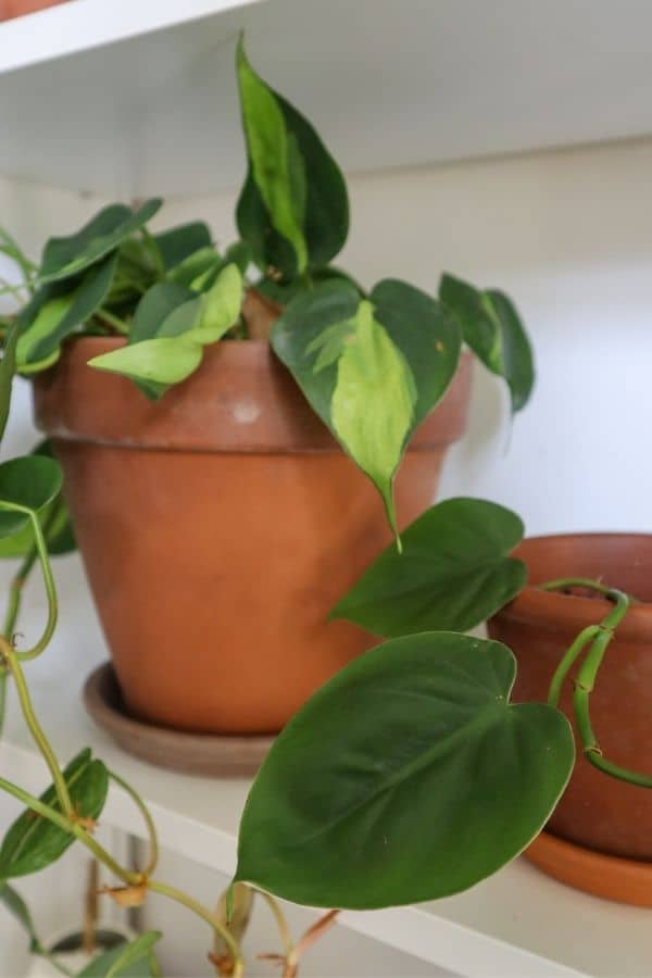 Philodendron hederaceum (Heartleaf)