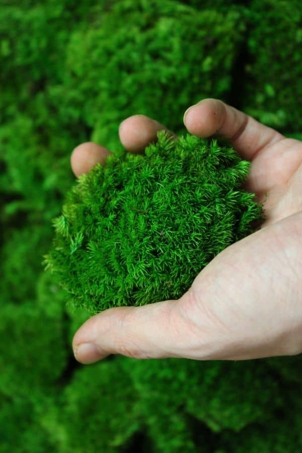 Preserved cushion moss