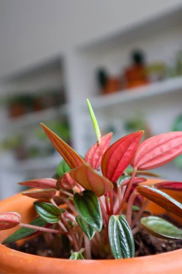 The rich colours of the Peperomia Rosso.
