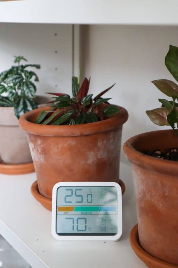 Peperomia Rosso temperature and humidity