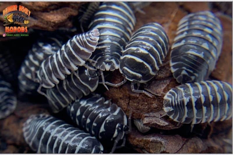 Zebra Isopod (Armadillidium maculatum)